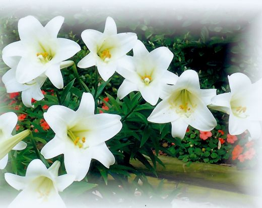 easter lilies | Easter Lilies Background Good friday easter lily ...